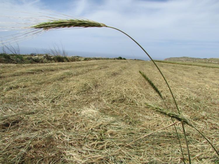 Grain ,field,