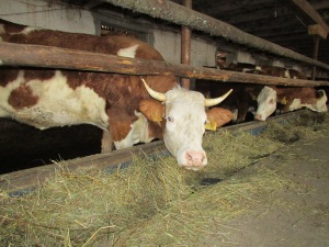 Dairy cows brought in from Hungary