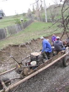 seed potatoes and furrow plough