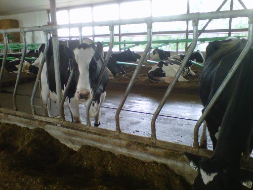 A luxurious barn environment for dairy cows