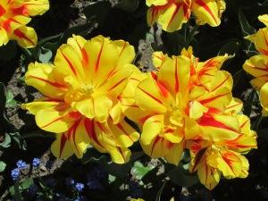 Fancy daffodils in Austria