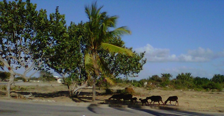 Sheep grazing outside the gate of a resort (they call these goats!)