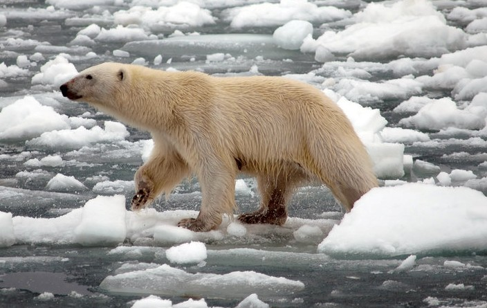 polar-bear_getty-images